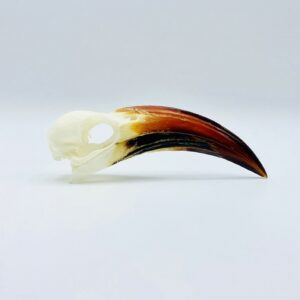Tanzanian red-billed hornbill skull - Tockus ruahae - 10,7 cm