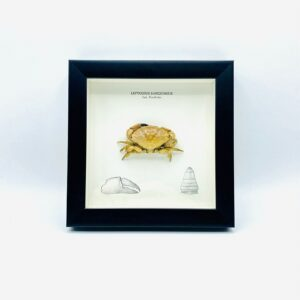 Wooden frame with real Xanthidae crab (Leptodius Sanguineus)