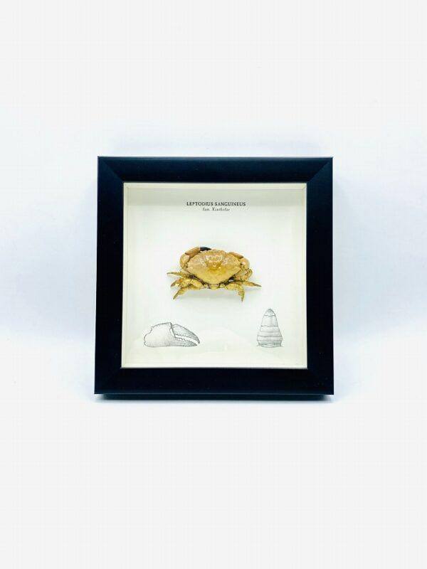 Wooden frame with real Xanthidae crab (Leptodius Sanguineus)