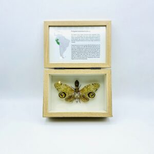 Real insect curious education box (Fulgora Laternaria)