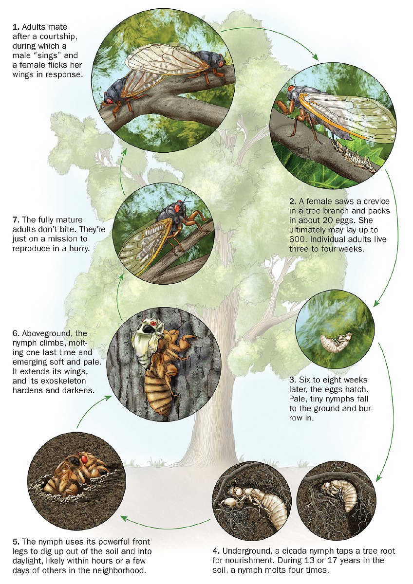 Cicadas and some cool facts - infographic