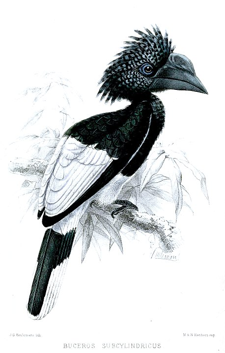 Black-and-white-casqued Hornbill skull - Bycanistes subcylindricus - 14,6 cm