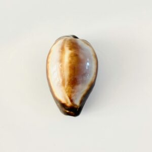 Medium size Onyx cowry (Erronea onyx) Bohol, Philippines (4,6cm)