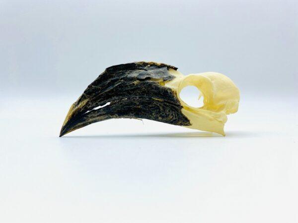 Female Von der Decken's hornbill skull - Tockus deckeni - 9,2 cm