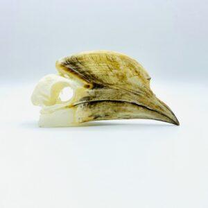 Black-and-white-casqued Hornbill skull - Bycanistes subcylindricus - 14,6 cm