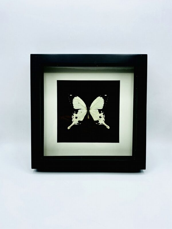 Black wooden frame with Af swallowtail (Papillio dardanus)