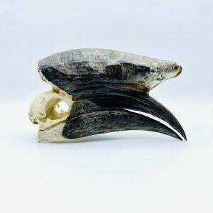 Male Black-casqued Hornbill skull - Ceratogymna atrata - 18,5 cm