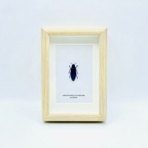 Small wooden frame with real jewel beetle (Chrysochroa Fulminans)