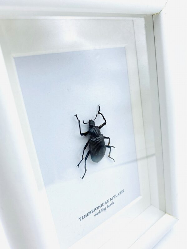 Small wooden frame with real darkling beetle (Tenebrionidae Mylaris)