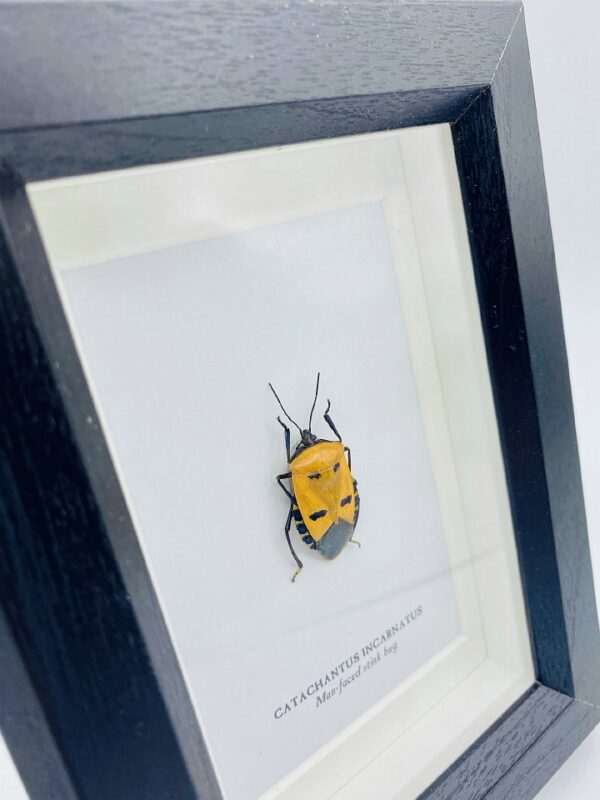 Small wooden frame with real man-faced stink bug (Catacanthus Incarnatus)