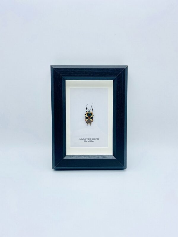 Small wooden frame with real mask stink bug (Catacanthus Nigripes)
