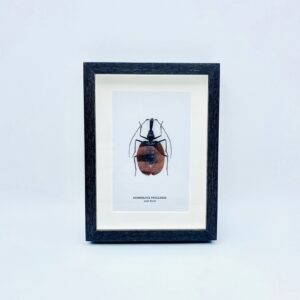 Framed Real Violin Beetle (Mormolyce phyllodes)