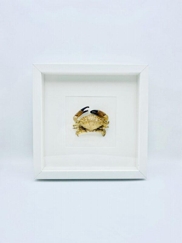 White wooden frame with real Xanthidae crab (Leptodius Sanguineus)