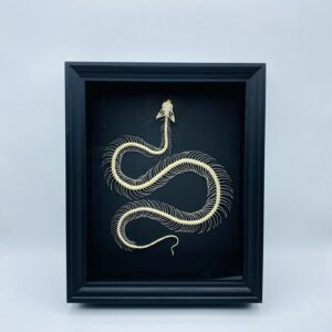 Black frame with real white-lipped pit viper (Trimeresurus albolabris) skeleton
