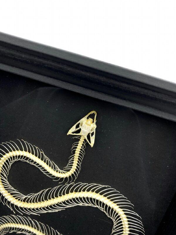 Black frame with real white-lipped pit viper (Trimeresurus albolabris) skeleton