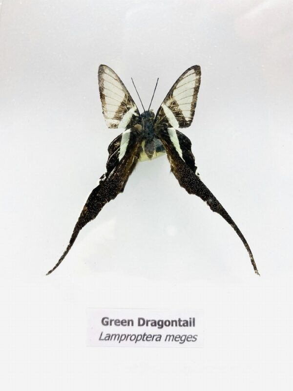 Framed Green Dragontail (Lamproptera meges) butterfly