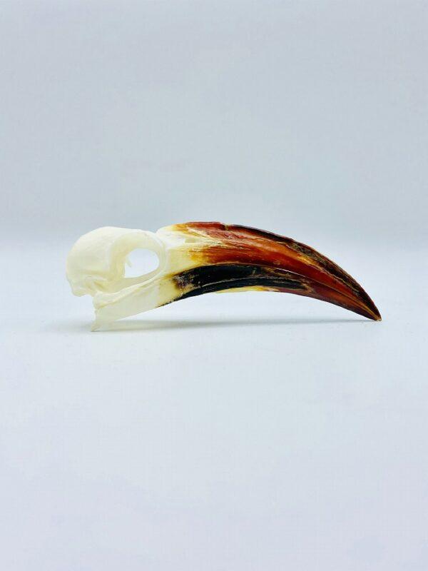 Tanzanian red-billed hornbill skull - Tockus ruahae - 10,3 cm