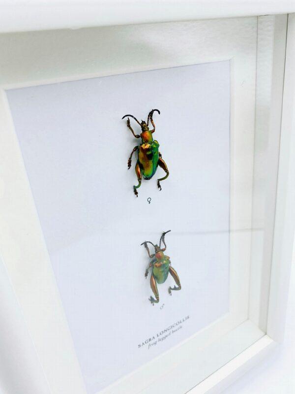 Wooden frame with 2 real Orange Frog-legged beetles (Sagra Longicollis)