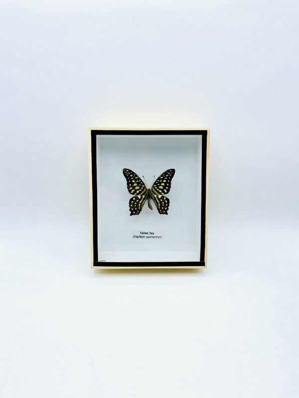 Framed Tailed Jay (Graphium agamemnon) butterfly