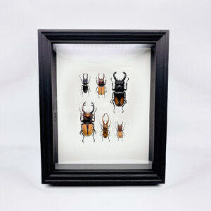 Unique stag beetle collection frame with 6 specimen
