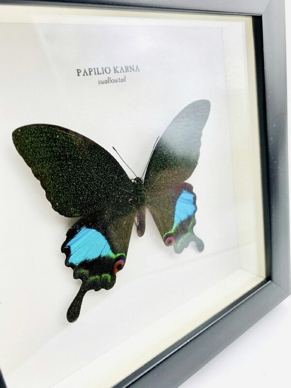 Wooden frame with Swallowtail butterfly (Papilio Karna)