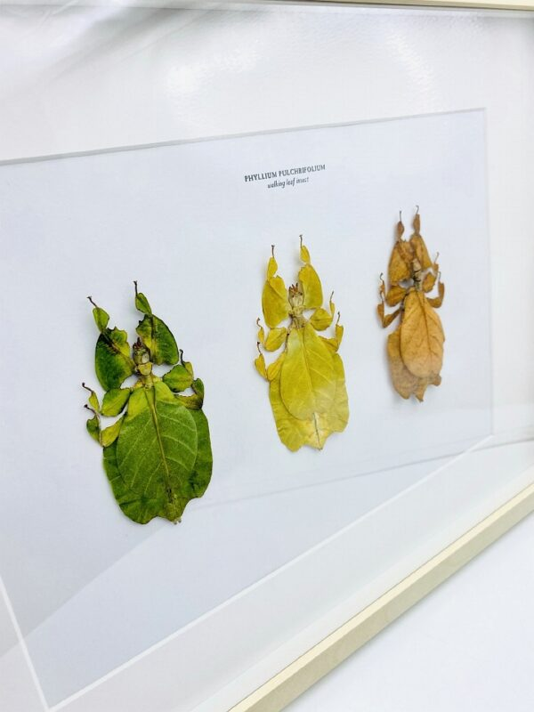 Exclusive frame with 3 color variants of walking leaves (Phyllium pulchrifolium)