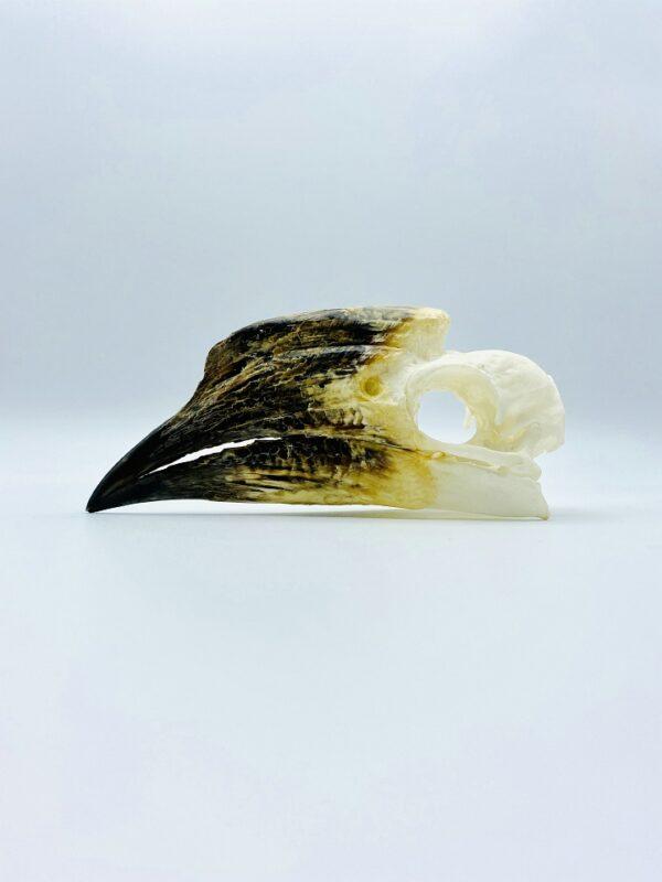 African Trumpeter Hornbill skull - Bycanistes Bucinator - 12,6 cm