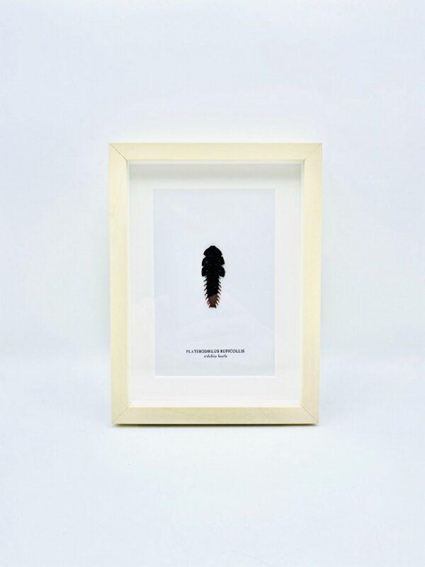 Framed Trilobite beetle (Platerodrilus ruficollis)