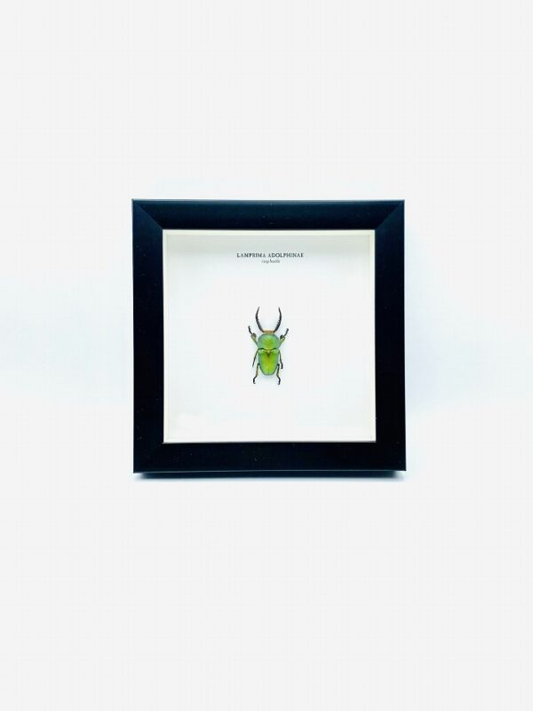 Wooden frame with saw tooth stag beetle (Lamprima adolphinae)