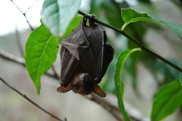Framed skeleton of long-tongued nectar bat (Macroglossus minimus)