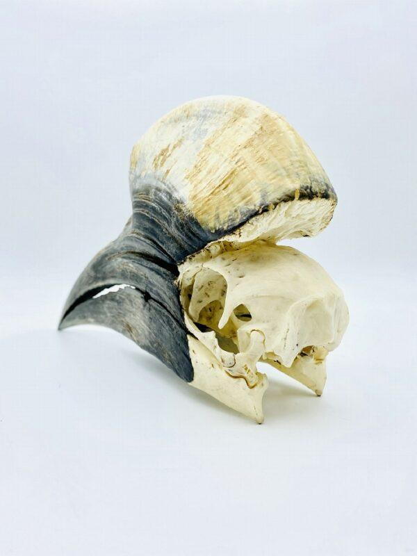 Male Yellow-casqued Hornbill skull - Ceratogymna elata - 21,3 cm