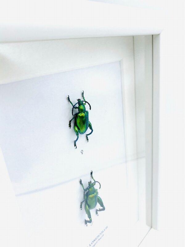 Wooden frame with 2 real green Frog-legged beetles (Sagra Longicollis)