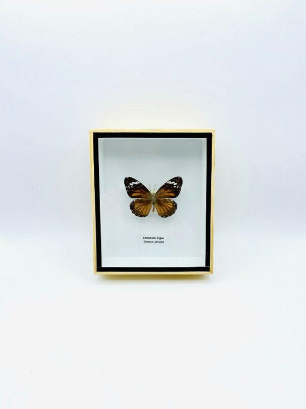 Framed Common Tiger butterfly (Danaus Genutia)