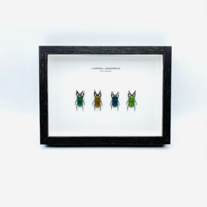 Wooden frame with 4 colors of saw tooth stag beetles (Lamprima adolphinae)