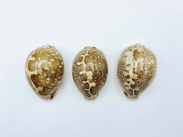 Collection with 3 variations of Cypraea Mappa