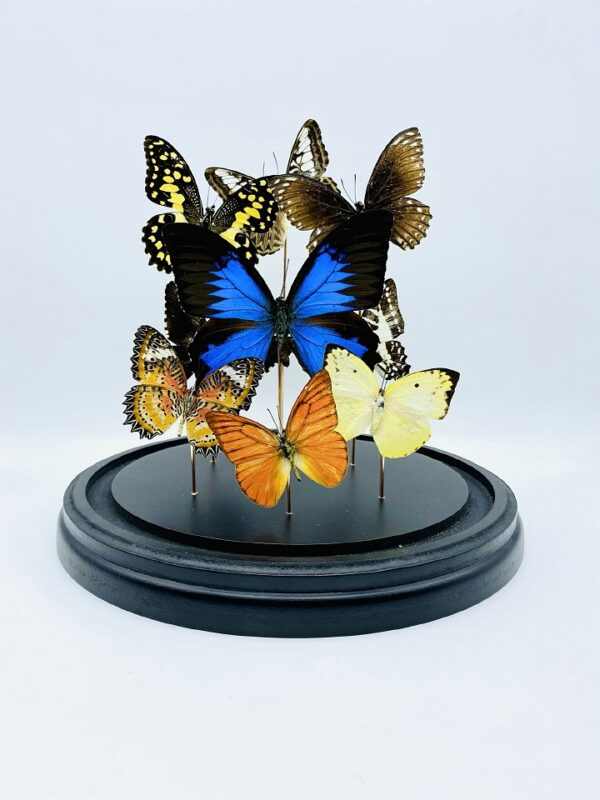Glass dome with 9 beautiful butterflies