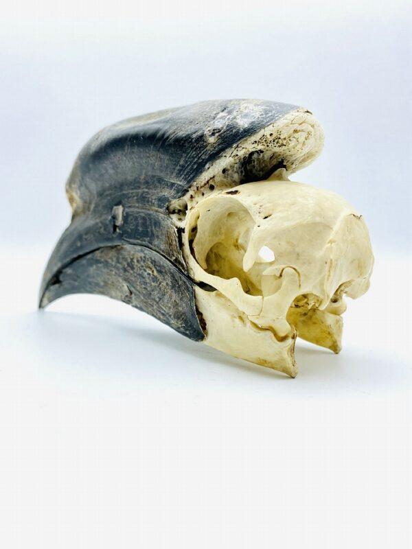 Male Black-casqued Hornbill skull - Ceratogymna atrata - 17,5 cm