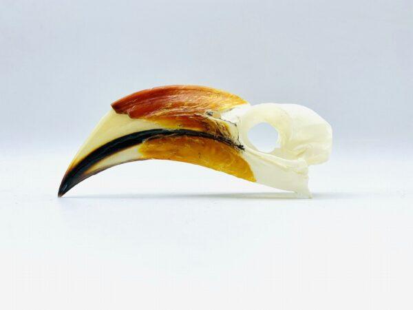 Male Von der Decken's hornbill skull - Tockus deckeni - 10,8 cm