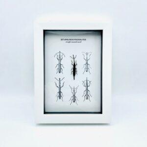 White frame with straight-snouted weevil (Zetaphloeus Pugionatus)
