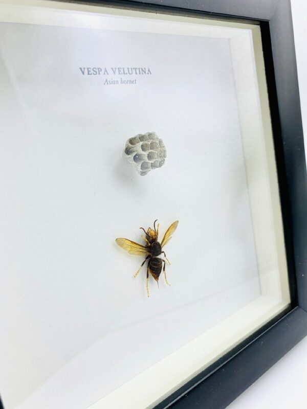 Wooden frame with Asian hornet (Vespa Velutina) incl. combs