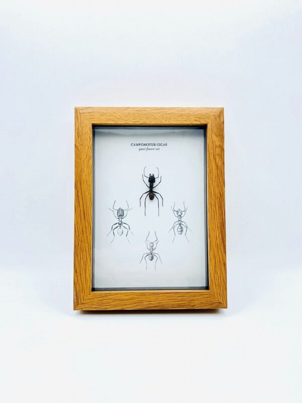 Walnut print frame with giant forest ant (Camponotus gigas)