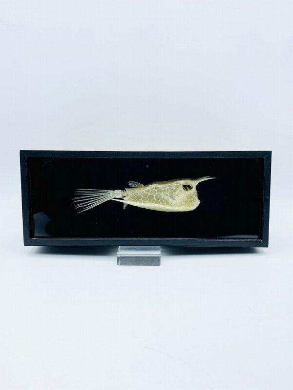 Longhorn Cowfish skeleton (Lactoria cornuta) framed in black box