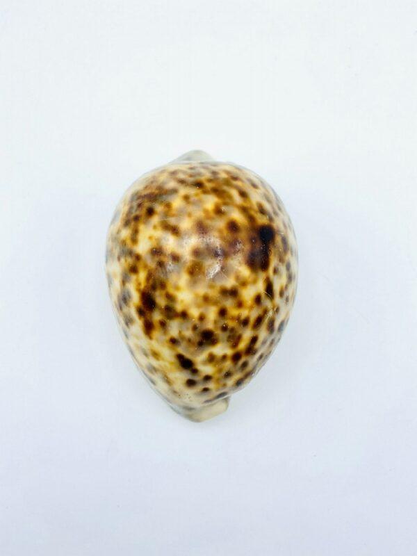 XXL Tiger Cowrie - Cypraea tigris (10,7 cm)