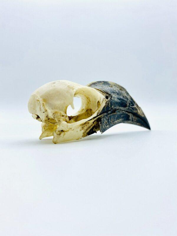 Female Von der Decken's hornbill skull - Tockus deckeni - 8,6 cm