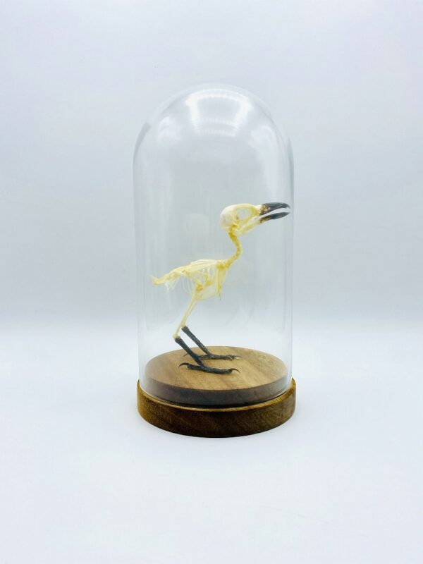 Glass dome with skeleton of Long-tailed shrike