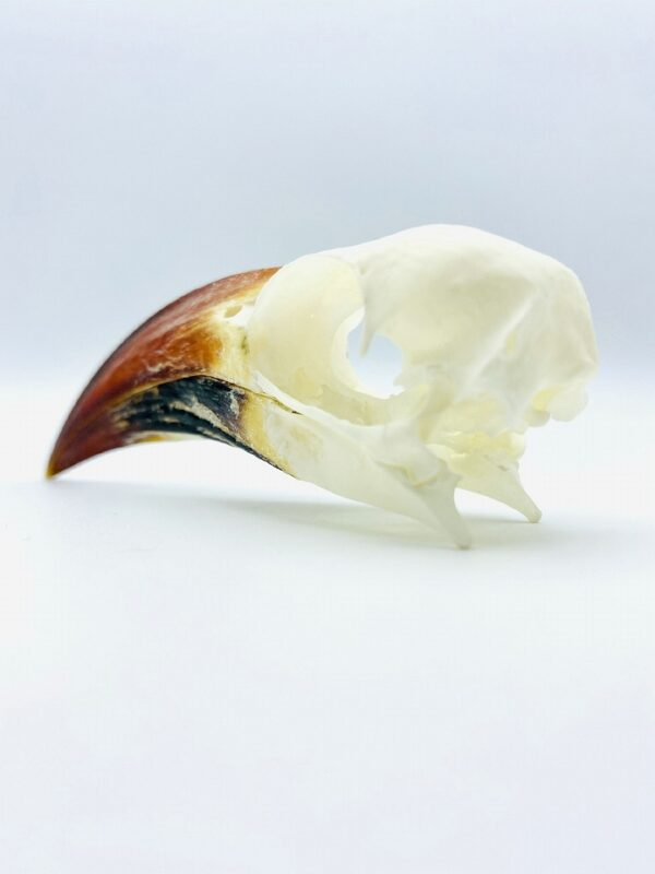 Tanzanian red-billed hornbill skull - Tockus ruahae - 9,3 cm
