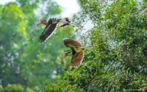 Helmet Hornbill - Natural History Curiosities