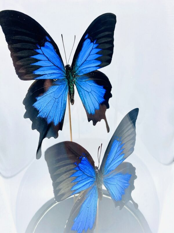 Glass dome with 2 Blue Emperor butterflies (papilio ulysses)