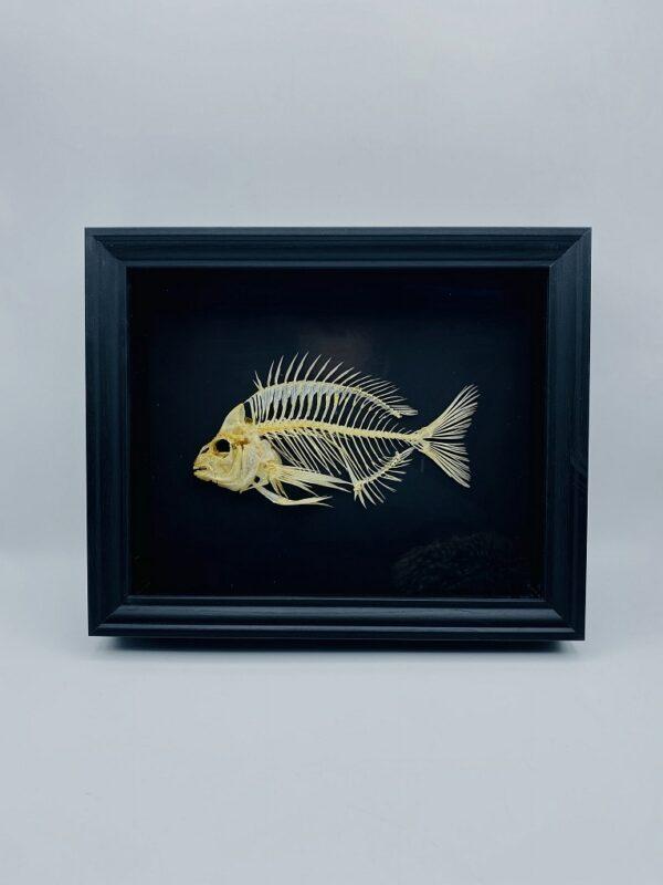 Unique framed Mediterranean Pumpkinseed skeleton