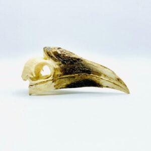 Female White-thighed Hornbill skull - Bycanistes albotibialis - 15,2 cm